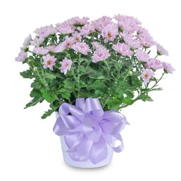 Lavendar Chrysanthemum in Ceramic Container