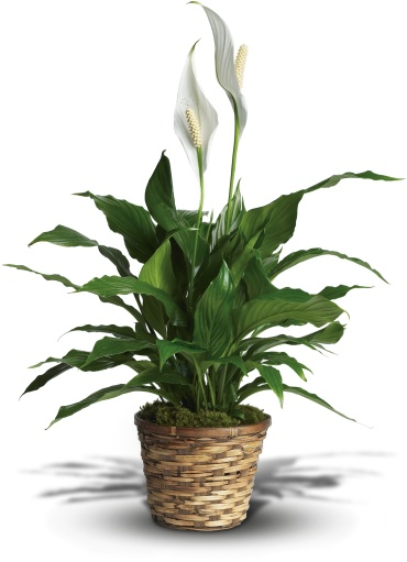 Spathiphyllum  Plant  - Medium