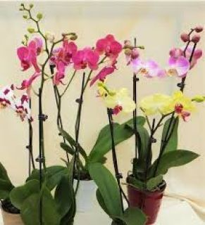 Phalenopsis Orchid Plants